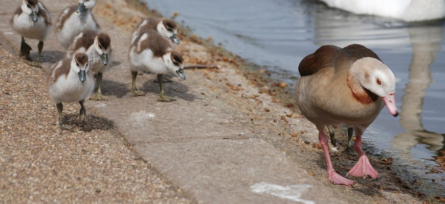 geese-352036_1280